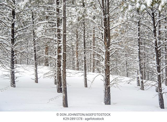 Fresh winter snow in the ponderosa pine woodland, Bryce Canyon National Park, Utah, USA