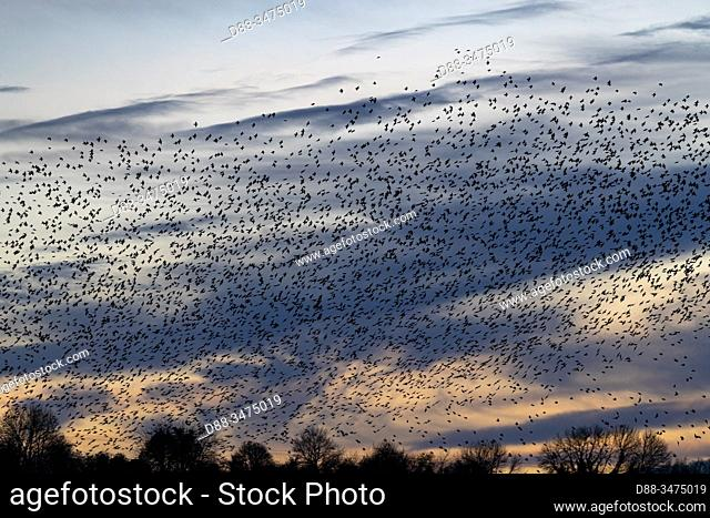 France, Pays de la Loire, Sarthe, Rouesse Vasse, grove, Flight of starlings (Sturnus vulgaris), join a roosting place