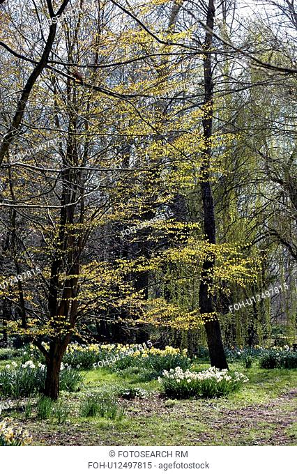 Woodland trees bursting into life and underplanted with daffodils