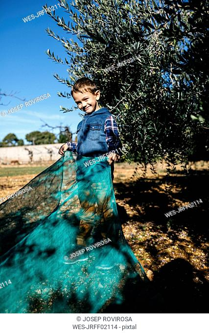 Boy helping during olive harvest in orchard