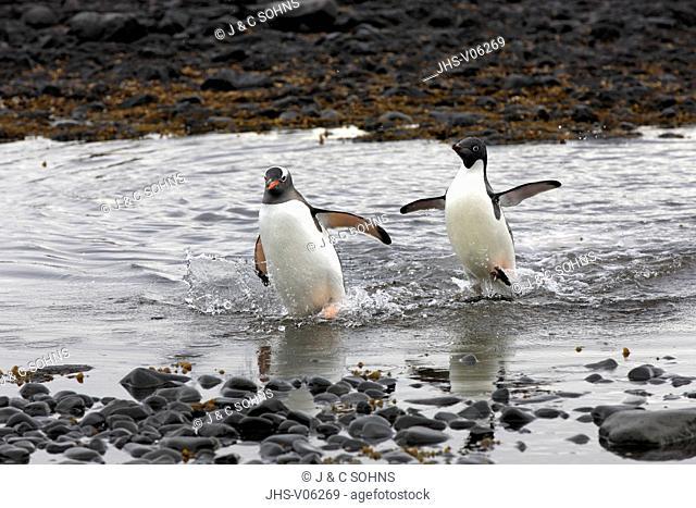 Gentoo Penguin, (Pygoscelis papua), Adelie Penguin, (Pygoscelis adeliae), Antarctica, Half Moon Island, adults walking out of water