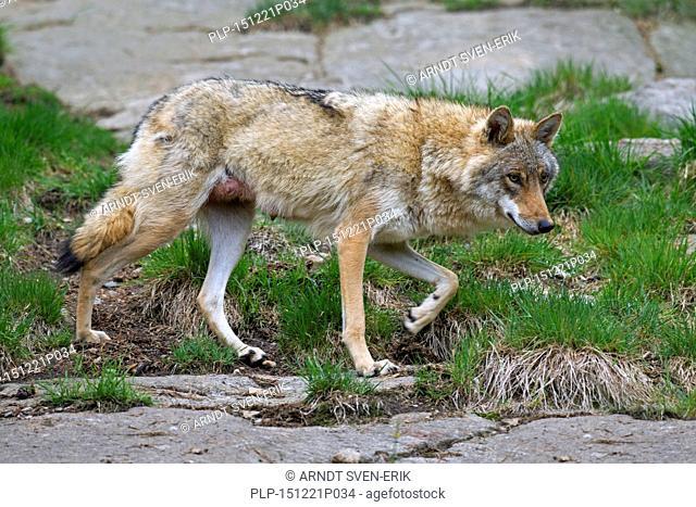European grey wolf (Canis lupus) female in summer coat, Hälsingland, Sweden