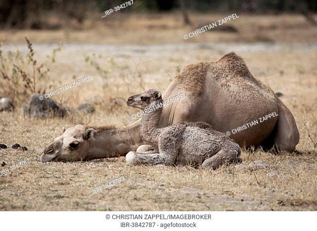 Dromedary (Camelus dromedarius) with young, Dhofar, Oman