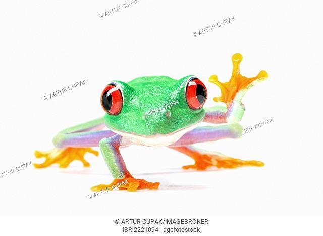 Waving Red-eyed Tree Frog (Agalychnis callidryas)