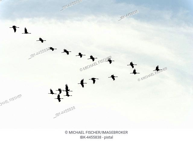 Flock of Eurasian cranes (Grus grus) flying in formation, Zingst, Mecklenburg-Western Pomerania, Germany