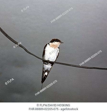 wire tailed swallow, Hirundo smithii