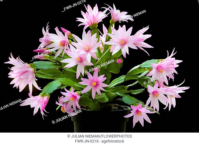 Rose Easter cactus, Rhipsalidopsis rosea, A plant in a black pot, covered with pink flowers with unfurling, yellow tipped pink stamens and white stigma in the...