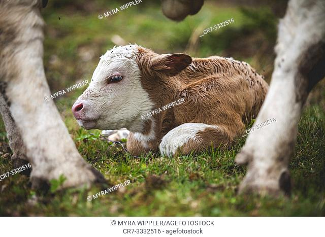 Newborn calf between mothers legs