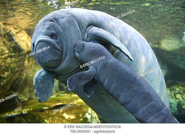 Caribbean manatee or West Indian manatee mother with baby, 2 days old (Trichetus manatus) captive, ZooParc Beauval, France