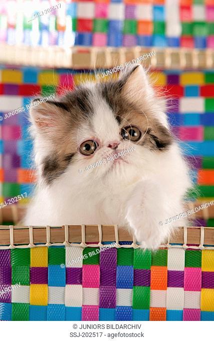 British Shorthair. Persian cat. Kitten in a multicoloured basket. Germany