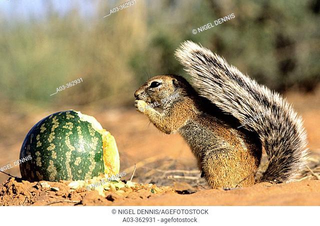 Ground Squirrel (Xerus inaurus) eating Tsamma Melon. Kgalagadi Transfrontier Park, Kalahari, South Africa