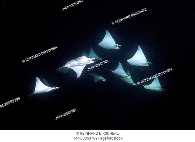 Munks Devil Ray feeding on plankton at night, Mobula munkiana, La Paz, Baja California Sur, Mexico