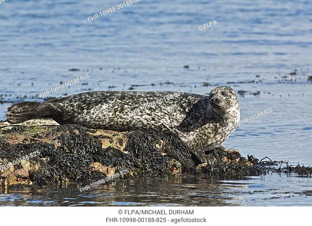 Common Seal Phoca vitulina adult, hauled out, resting on seaweed covered rock, Islay Sound, Islay, Inner Hebrides, Scotland