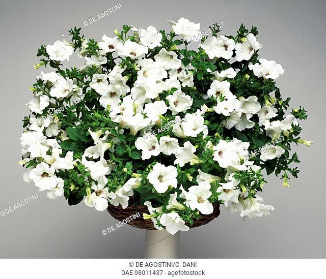 Surfinia (Petunia sp), Solanaceae