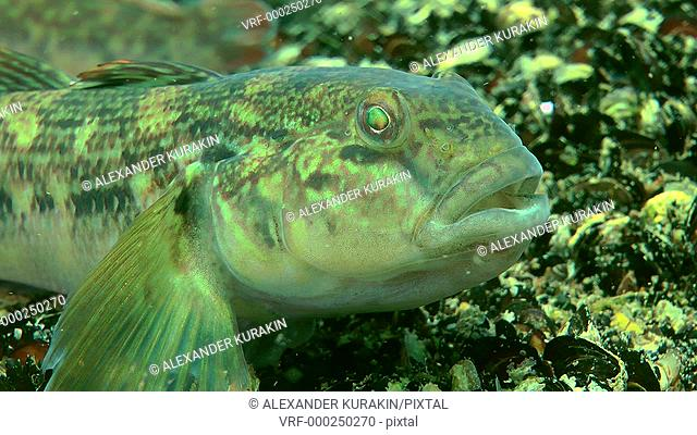 Portrait of Round goby (Neogobius melanostomus) then the fish swims away from frame, close-up. Black Sea. Ukraine