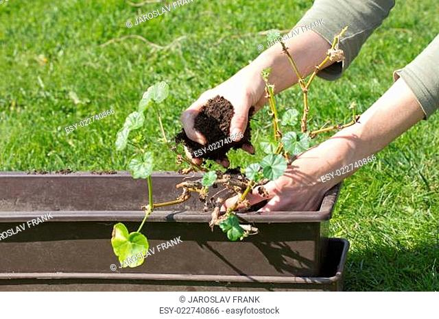 Transplanting geraniums in a pot