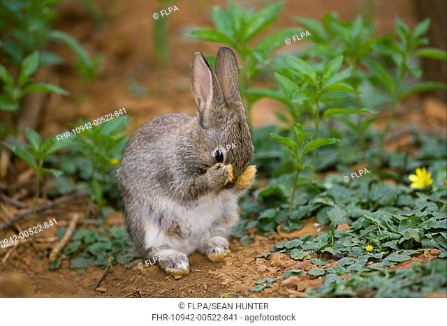 European Rabbit Oryctolagus cuniculus young, grooming, sitting under hedgerow near warren, Oxfordshire, England, april