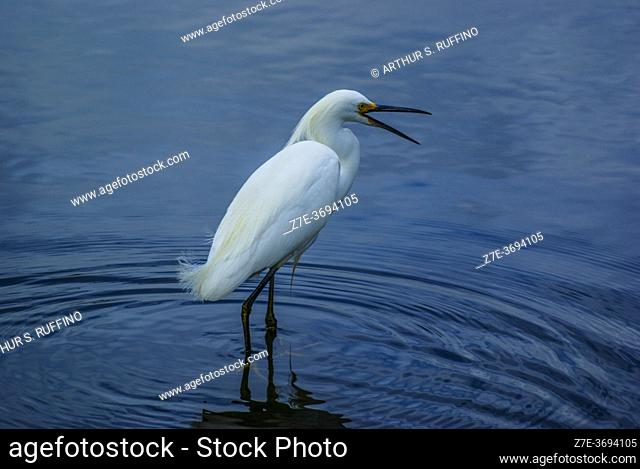 Snowy egret (Egretta thula) calling out. South Florida, U.S.A., North America