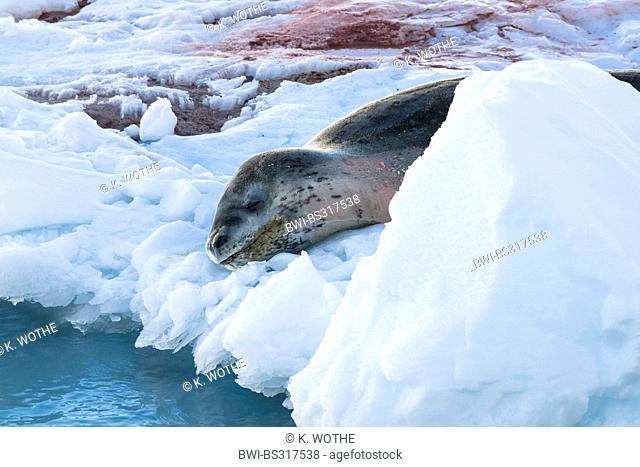 leopard seal (Hydrurga leptonyx), lying on ice floe, Antarctica