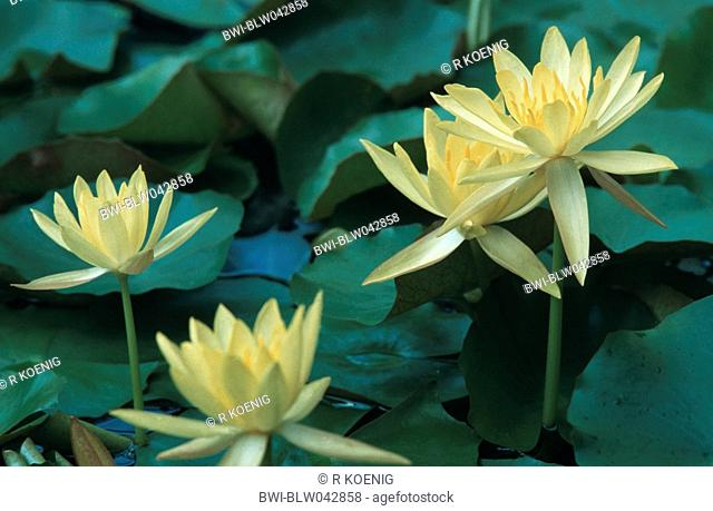 mexican waterlily, banana waterlily, yellow waterlily Nymphaea mexicana, blooming plants