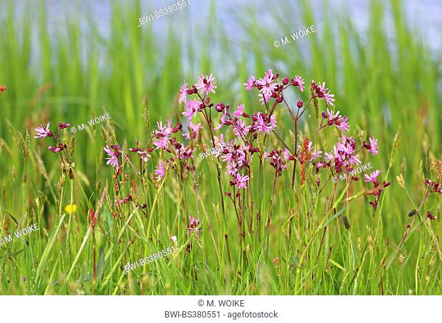 Meadow campion, Ragged-robin (Lychnis flos-cuculi, Silene flos-cuculi), group of flowering plants, Netherlands, Frisia