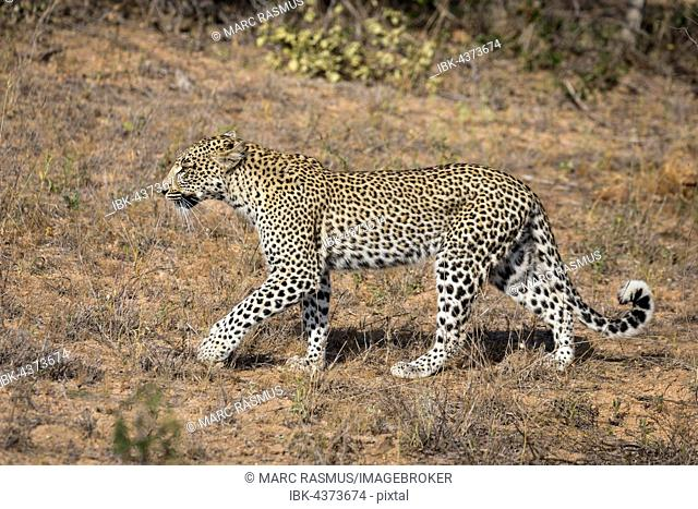 Walking Leopard (Panthera pardus), Timbavati Game Reserve, South Africa