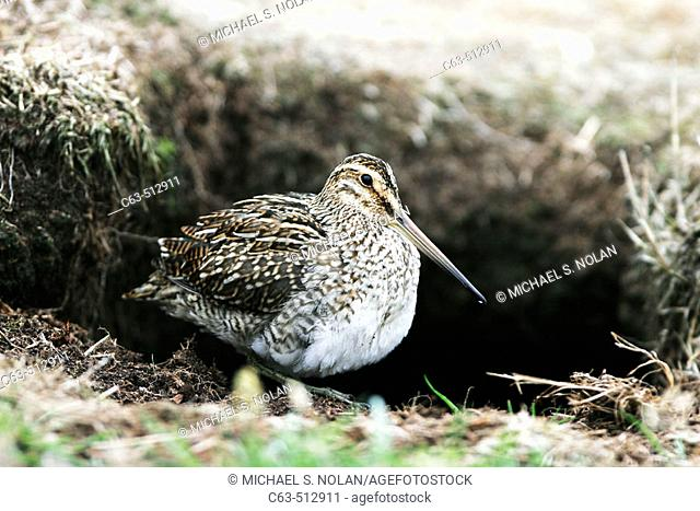 Adult Magellanic Snipe (Gallinago paraguaiae magellanica) in the Falkland Islands, South Atlantic Ocean