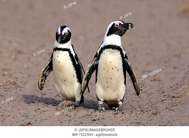 Pair of African Penguins or Black-footed Penguins (Spheniscus demersus) walking along a beach, Betty's Bay, South Africa, Africa