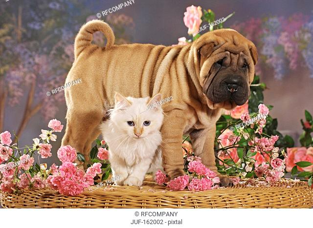 animal friendship : Shar Pei puppy and Sacred cat of Burma kitten