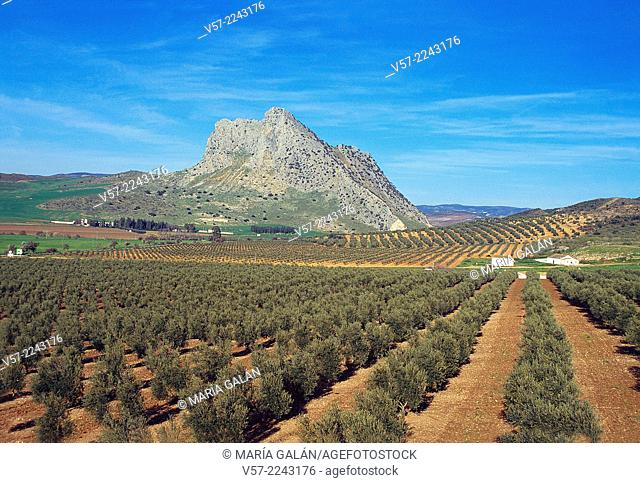 Olive groves. Antequera, Malaga province, Andalucia, Spain