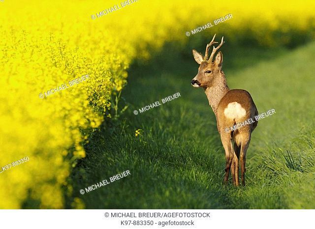 Roe buck (Capreolus capreolus)near rape field, ,Spring, Germany