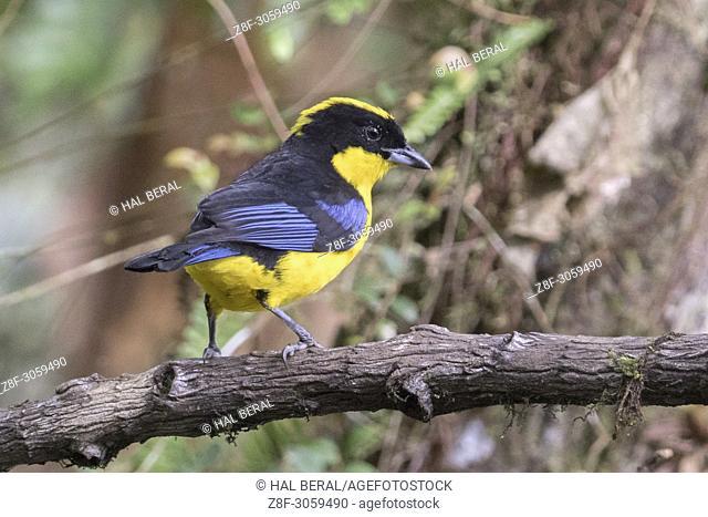 Blue-Winged Mountain-Tanager (Antisognathus somptuosos). Ecuador