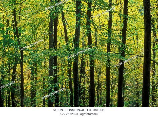 Silhouetted hardwood trees in early autumn, Great Smoky Mountains National Park, Tennessee, USA