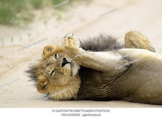 African lion (Panthera leo) - Male, Kgalagadi Transfrontier Park, Kalahari desert, South Africa/Botswana