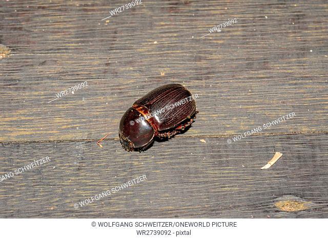 Indonesia, Kalimantan, Borneo, Kotawaringin Barat, Tanjung Puting National Park, close-up of a female rhinoceros beetle