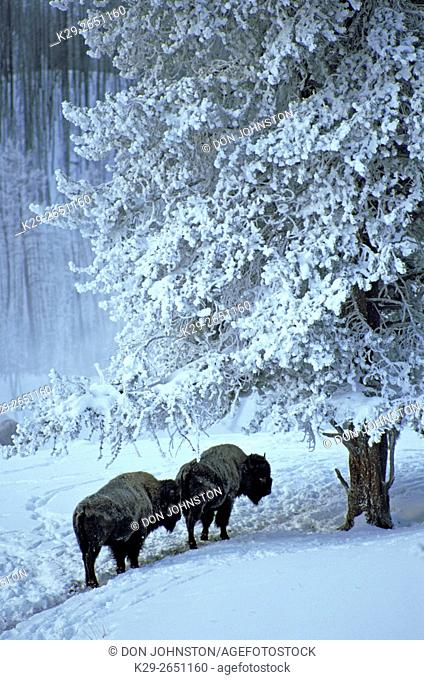 Plains Bison (Bison bison) Adults in Madison RiverValley in winter, Yellowstone National Park, Wyoming, USA