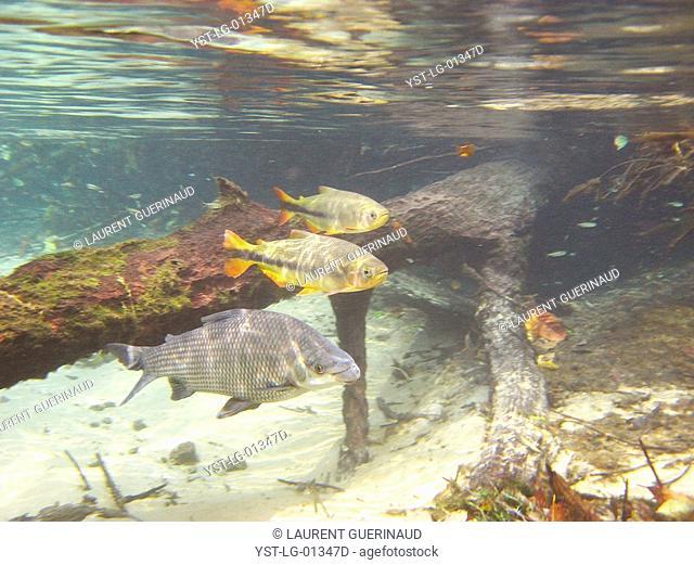 Pisces, Curimbatá, Prochilodus lineatus, Piraputangas, Brycon hilarii, Bonito, Mato Grosso do Sul, Brazil