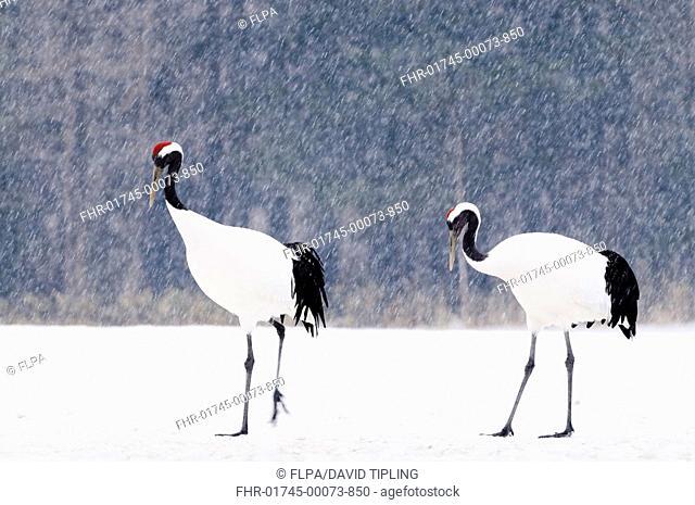Japanese Red-crowned Crane Grus japonensis adult pair, walking in snow during snowfall, Akan, Hokkaido, Japan, winter