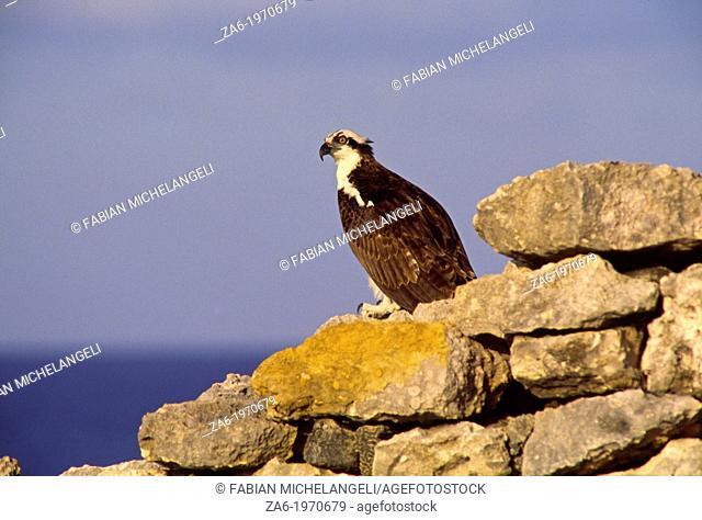 Osprey (Pandion haliaetus) in coastal Venezuela