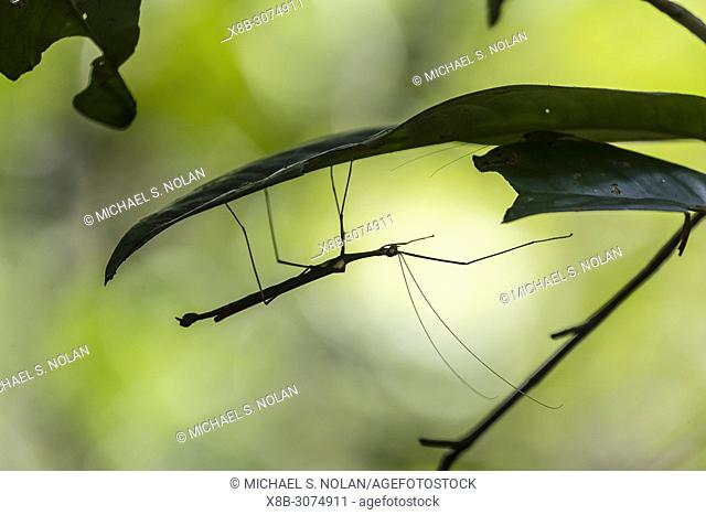 Stick insect in the rain forest, Tanjung Puting National Park, Kalimantan, Borneo, Indonesia