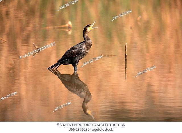 Cormorant (Phalacrocorax carbo) in the reservoir of Domeño. Region Los Serranos. Valencia