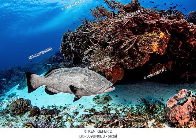 Black grouper, Cozumel, Quintana Roo, Mexico