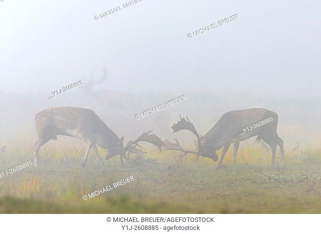 Fighting Fallow Deers (Cervus dama) at Rutting Season, Hesse, Germany, Europe