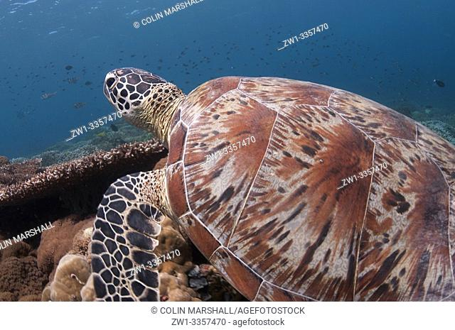 Green Turtle (Chelonia mydas, Cheloniidae family) swimming over coral reef, Turtle Patch dive site, Sipadan Island, Sabah, Malaysia