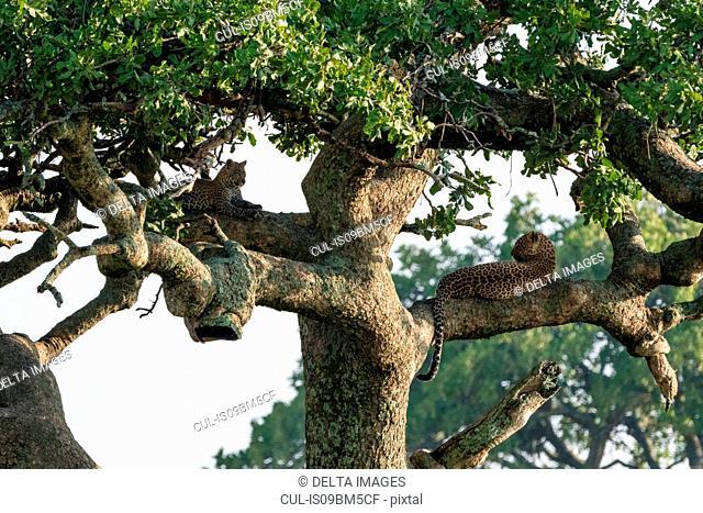 A female leopard (Panthera pardus) and its cub resting on a tree, Ndutu, Ngorongoro Conservation Area, Serengeti, Tanzania