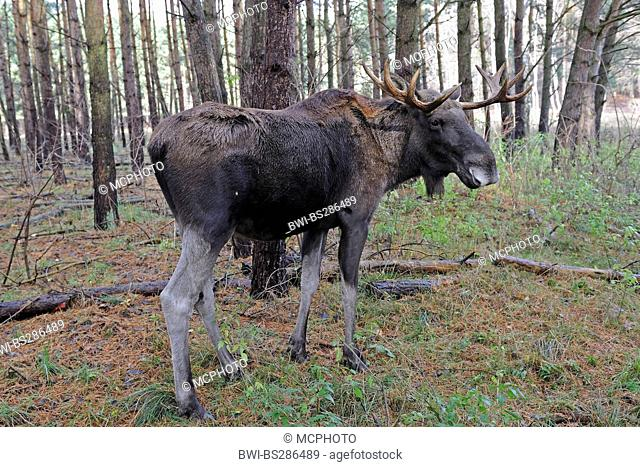 elk, European moose (Alces alces alces), standing in a pine forest