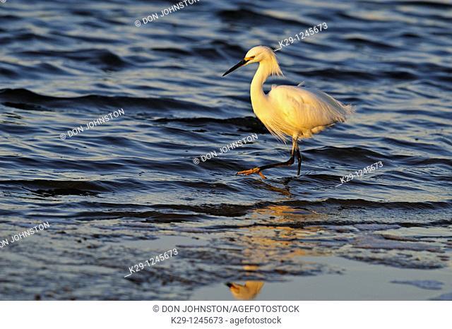 Snowy egret Egretta thula Hunting shoreline