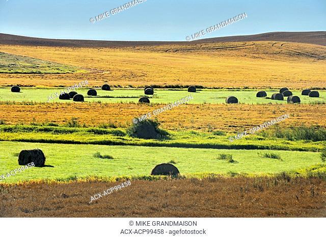 Yellow peas Webb Saskatchewan Canada