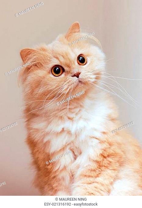 Close up persain cat
