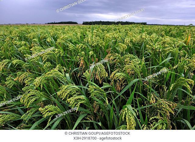 millet field, Loiret department, Centre-Val-de-Loire region, France, Europe
